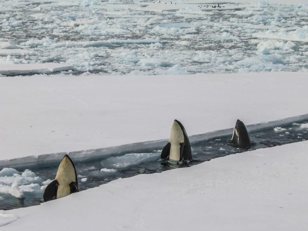 Orka's Antartica. Foto door Bryan Goff van Unsplash