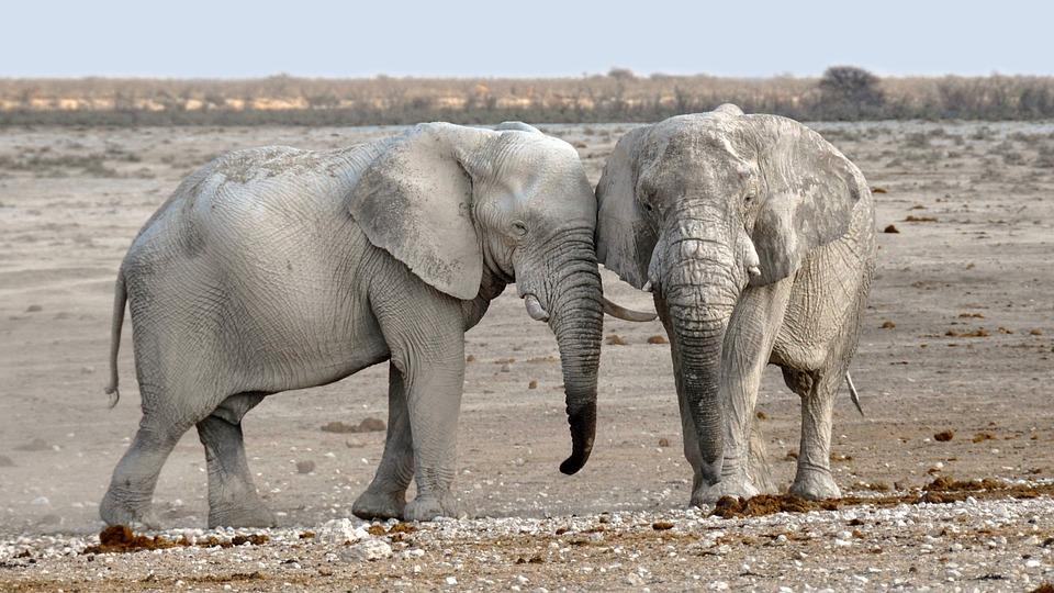 tørket ut elefanter. Bilde av Pixabay